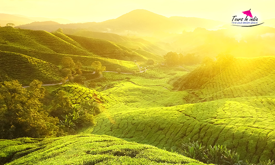THe exotic tea gardens in Munnar